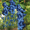 Trauben-Heidelbeere ´Blue Berry®´