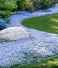 Isotoma ´Blue Foot®´ (3 Pflanzen)