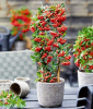 Pyracantha ´Red Star®´ (1 Pflanze)