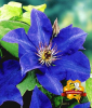 Blaue Clematis ´The President´ (1 Pflanze)