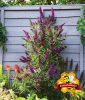 Buddleia ´Straight UP - Butterfly Tower´ (1 Pflanze)