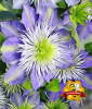 Clematis ´Crystal Fountain TM´ (1 Pflanze)