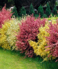 Ginster-Hecke ´Tricolor´ (3 Pflanzen)