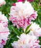 Paeonia ´Candy Stripe®´ (1 Knolle)