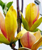 Magnolie ´Sunsation´ (1 Pflanze)