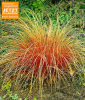 Carex ´Bronze Reflection´ (3 Pflanzen)