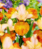 Iris ´Peacock Butterfly® Ginger Twist´ (1 Knolle)