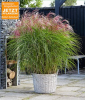 Miscanthus ´Red Cloud®´ (1 Pflanze)