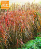 Miscanthus-Hecke (1 Pflanze)