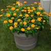 Winterharte Calendula Winter Wonders® Peach Polar