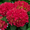Hortensie ´Hot Red´