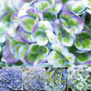 Hortensie Magical Revolution ® Blau