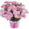 Strauchmargerite Aramis® ´Double Pink´