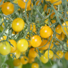Perlen-Tomate Tomberry® ´Yellow´ - veredelt