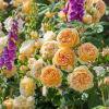 Englische Rose ´Crown Princess Margareta´ (Auswinter)