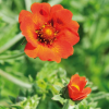Fingerstrauch ´Potentilla Red Ace´, 3 Pflanzen