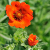 Fingerstrauch ´Potentilla Red Ace´, 6 Pflanzen