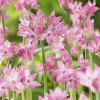 Allium ´Oreophilum´ 20er Pack