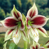 Amaryllis ´Papilio Butterfly´ 1er Pack