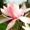 Magnolie ´Pink Beauty´