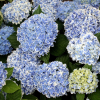 Hortensie ´Peppermint Blue®´