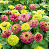 Zinnien ´Red Lime´ & ´Green Lime´