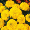 Tagetes Antigua Yellow, F1