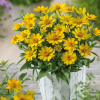 Zinnien Profusion Yellow