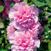 Stockrose Chaters Pink