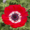 Garten-Anemone ´Hollandia´ 10er Pack