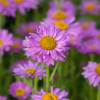 Alpen-Aster - Aster Alpinus ´Happy End´