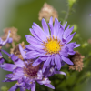 Kissenaster (Aster dumosus ´Lady in Blue´)