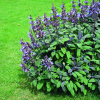 Garten-Salbei (Salvia officinalis ´Purpurascens´)