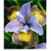 """Iris """"Peacock Butterfly® Uncorked®"""",1 Knolle"""